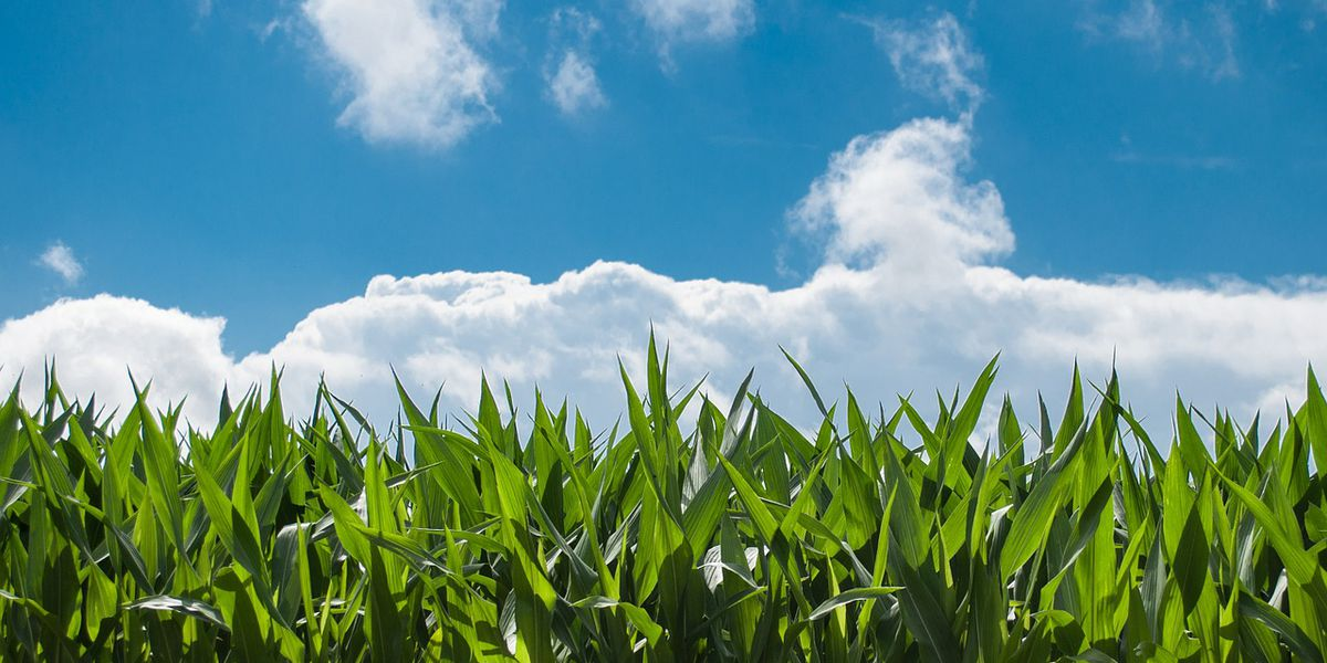 USDA: Excessive rainfall hits quality of Indiana's corn crop