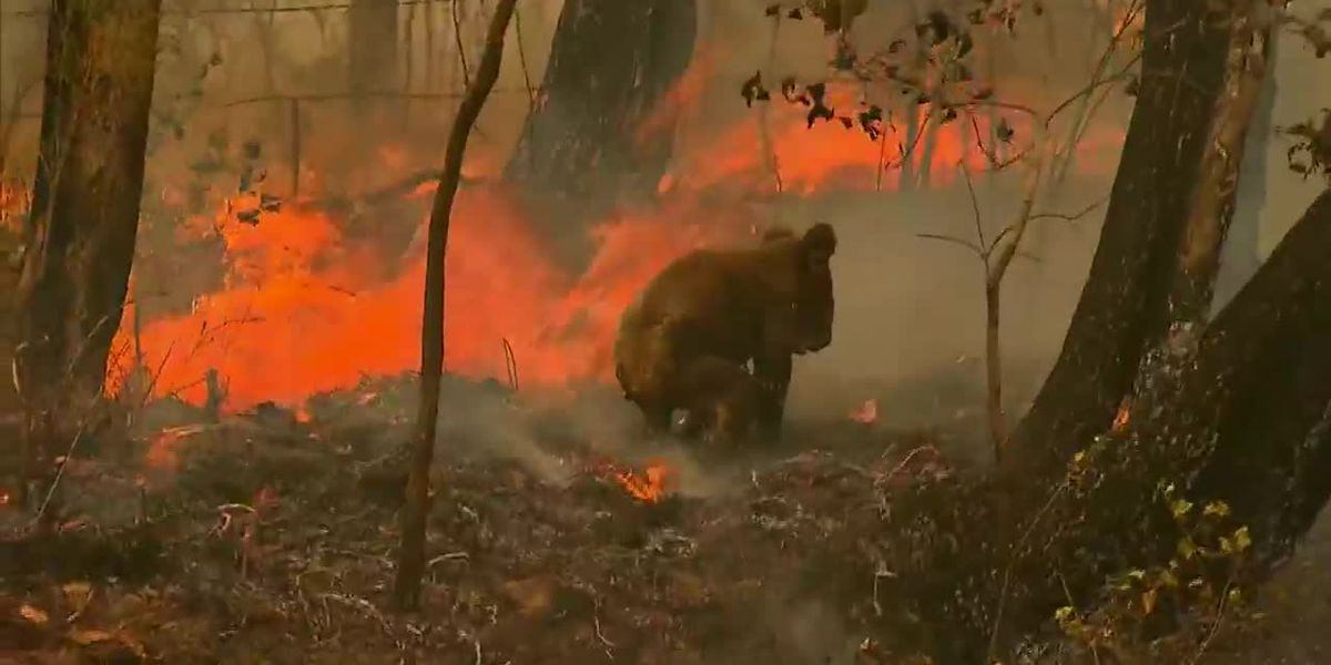 Report: 3 billion animals impacted by Australia's bushfires