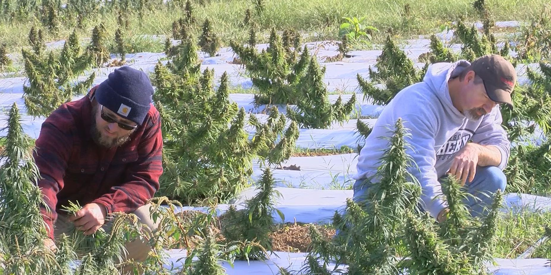 Hemp in Henderson, couple grows hemp for CBD oil on family farm