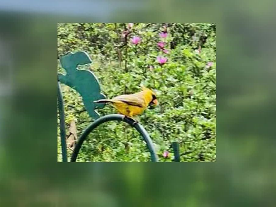 Rare yellow cardinal spotted in woman's garden in AL