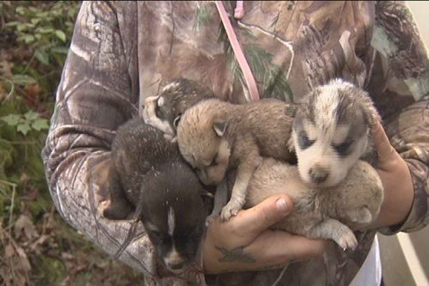 Officials say there's a chance wolf dog hybrids ate part of
