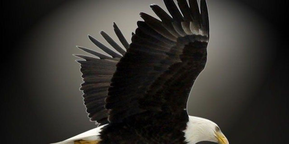 Reward for information in shooting of bald eagle in Dubois Co.