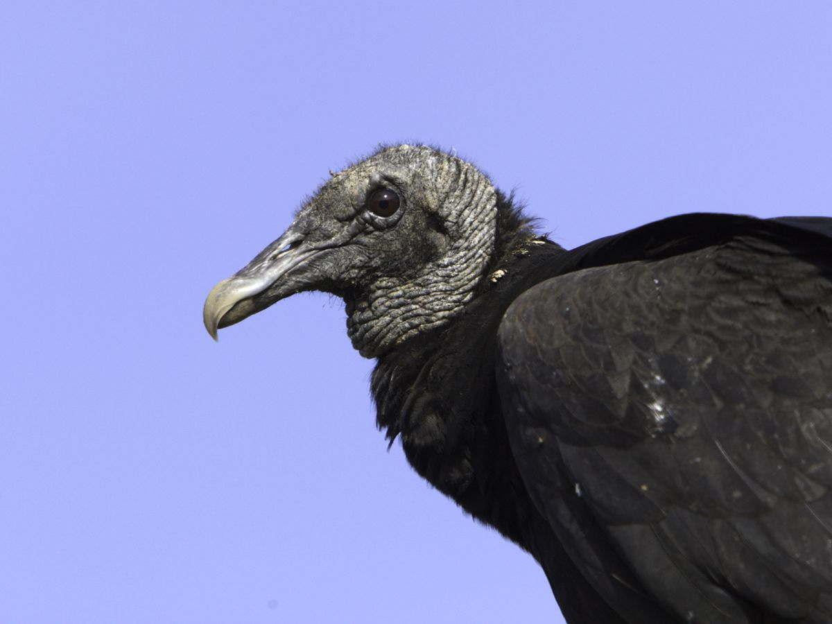 Two die in motorcycle crash after vulture strike in Kansas