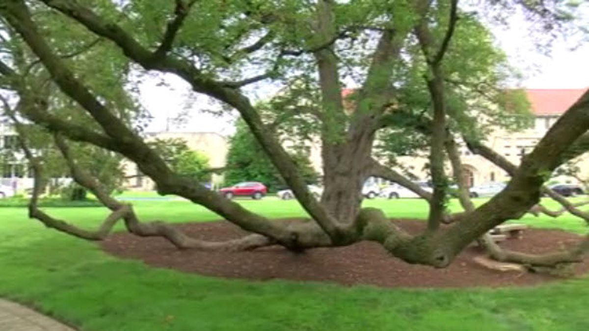 UE's Linden Trees scheduled for trimming