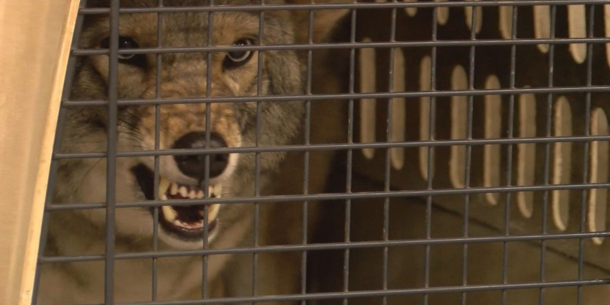 Henderson residents, officials ask coyote experts for solution