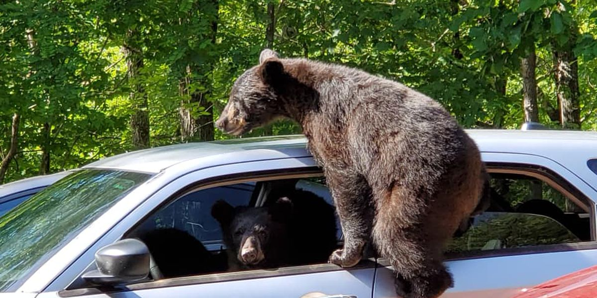Owensboro man finds unlicensed bears behind wheel of car