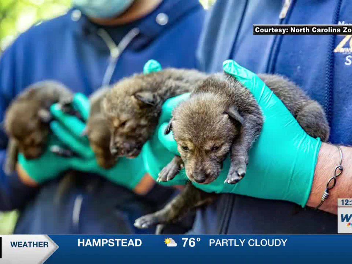 N.C. Zoo announces birth of dozen American red wolf pups