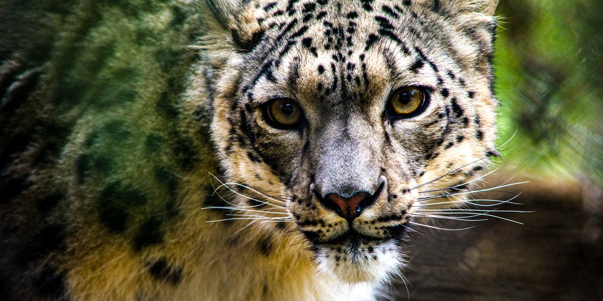 Snow leopard at Louisville Zoo tests positive for COVID-19