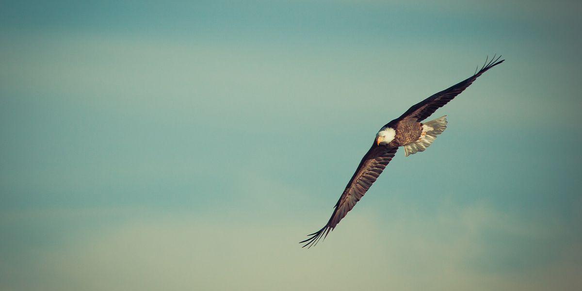 Bald eagle found shot to death near nest