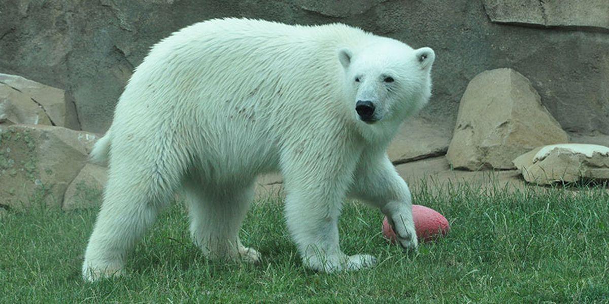 Polar bear, gorilla and elephant's birthdays postponed at Louisville Zoo