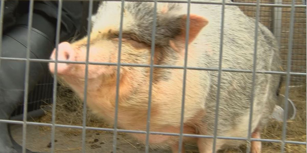 Pig problems at Henderson Humane Society