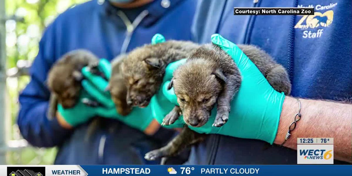 N.C. Zoo announces birth of five American red wolf pups