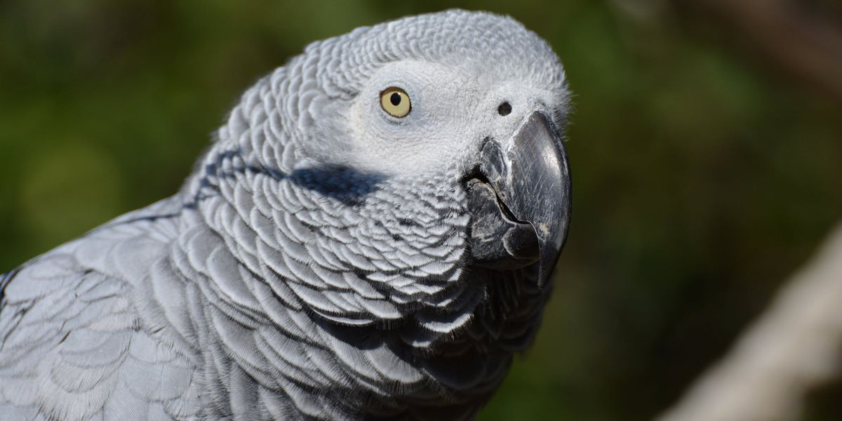 Parrot uses Alexa to make Amazon purchases while his owner is away