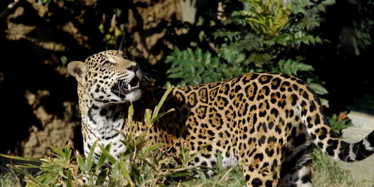 Mesker Park Zoo's female jaguar has terminal cancer