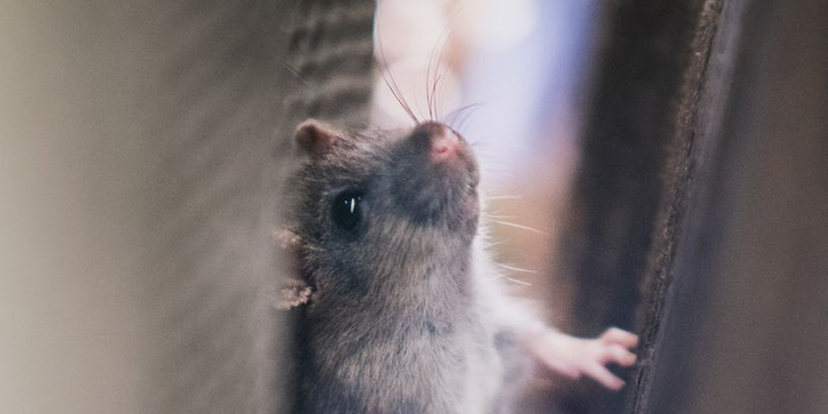 Mouse creates stir in White House briefing room