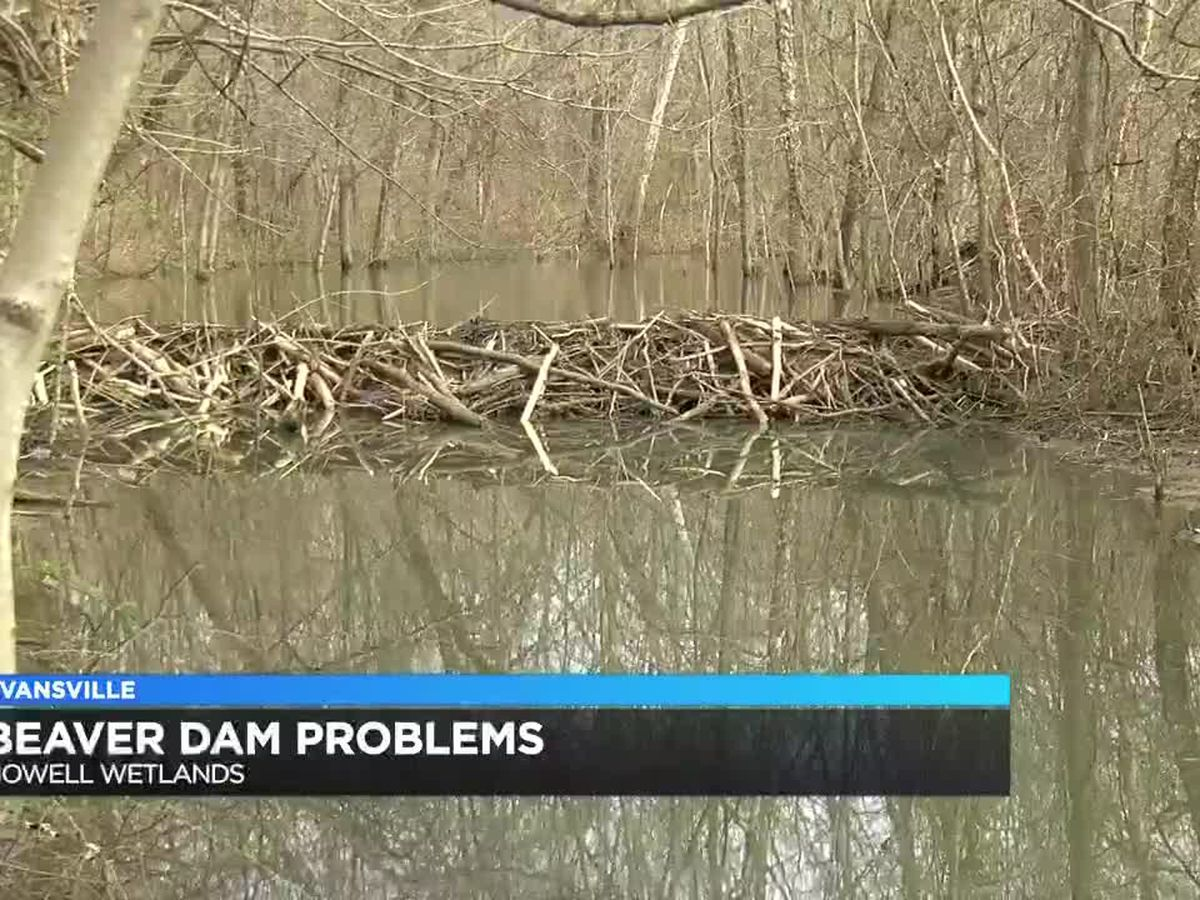 Beaver dam causing flooding issues at Howell Wetlands
