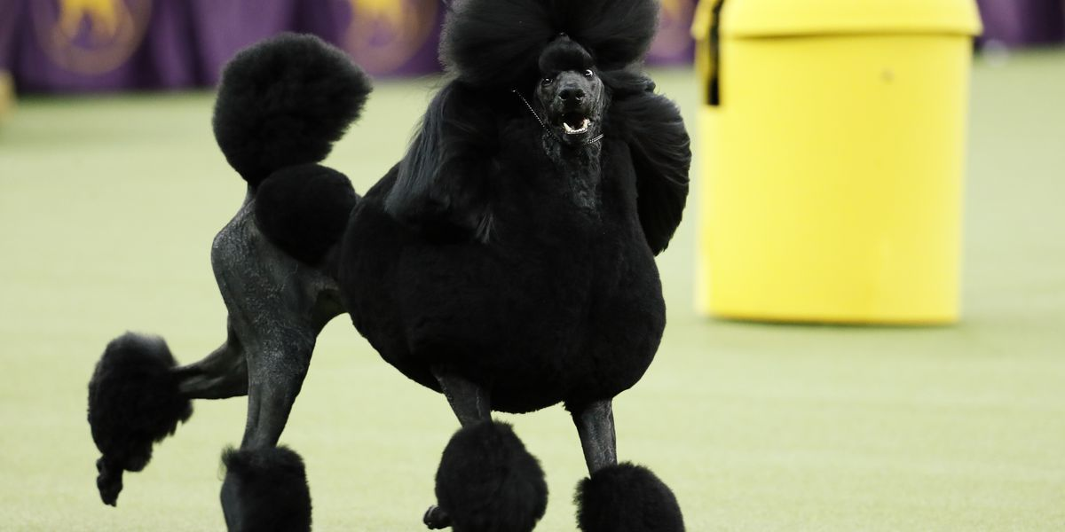 poodle perfection  siba wins best in show at westminster