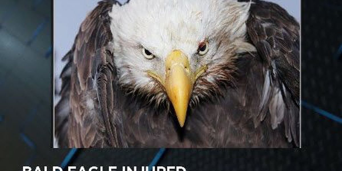 Bald eagle hit by vehicle in Pike Co.