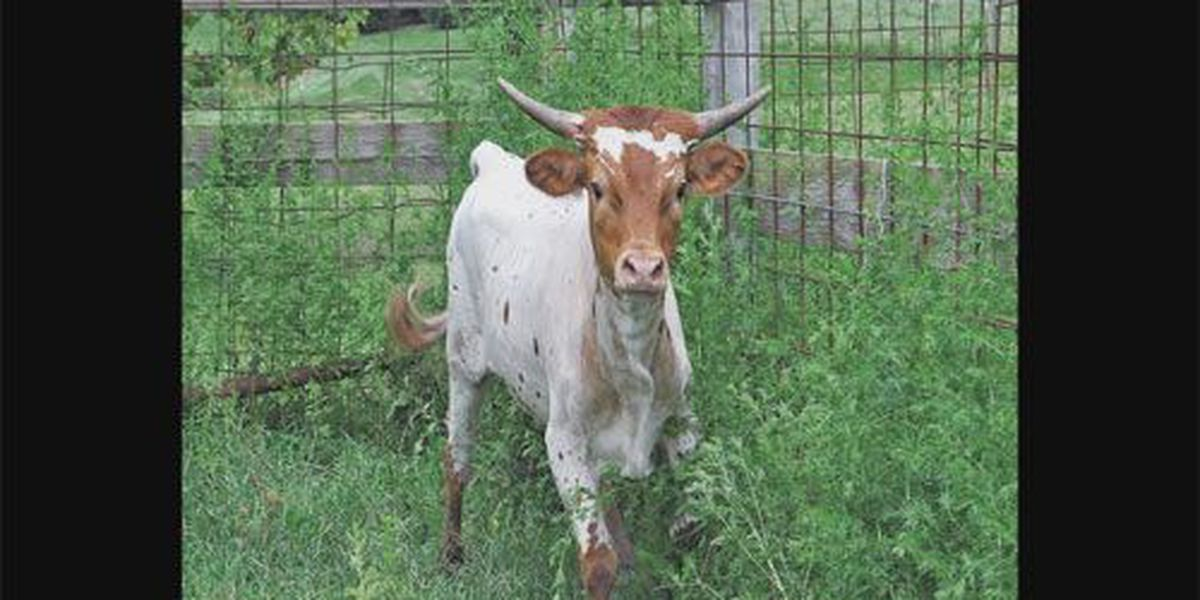Missing calf found in Gibson Co.