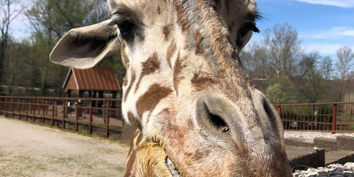 Popular giraffe at Mesker Park Zoo passes away