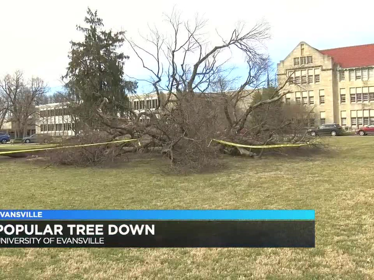 Popular tree at UE falls down following the weekend's heavy rain