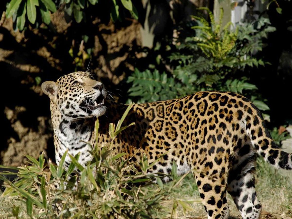 Jaguar at Mesker Park Zoo diagnosed with terminal cancer