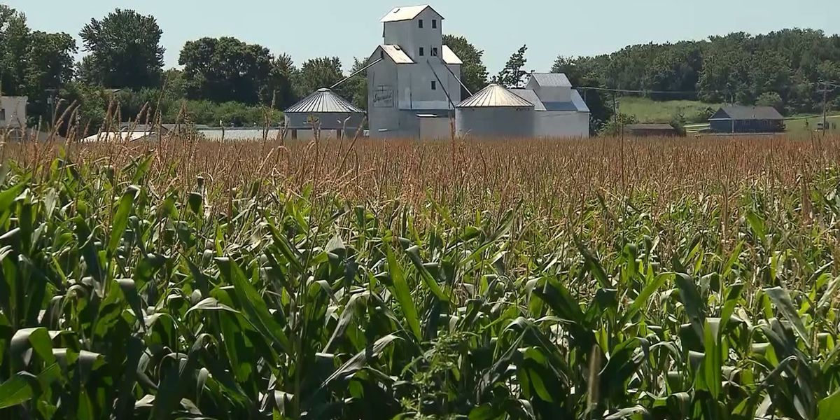 Big revenue drop expected for Indiana corn, soybean crops