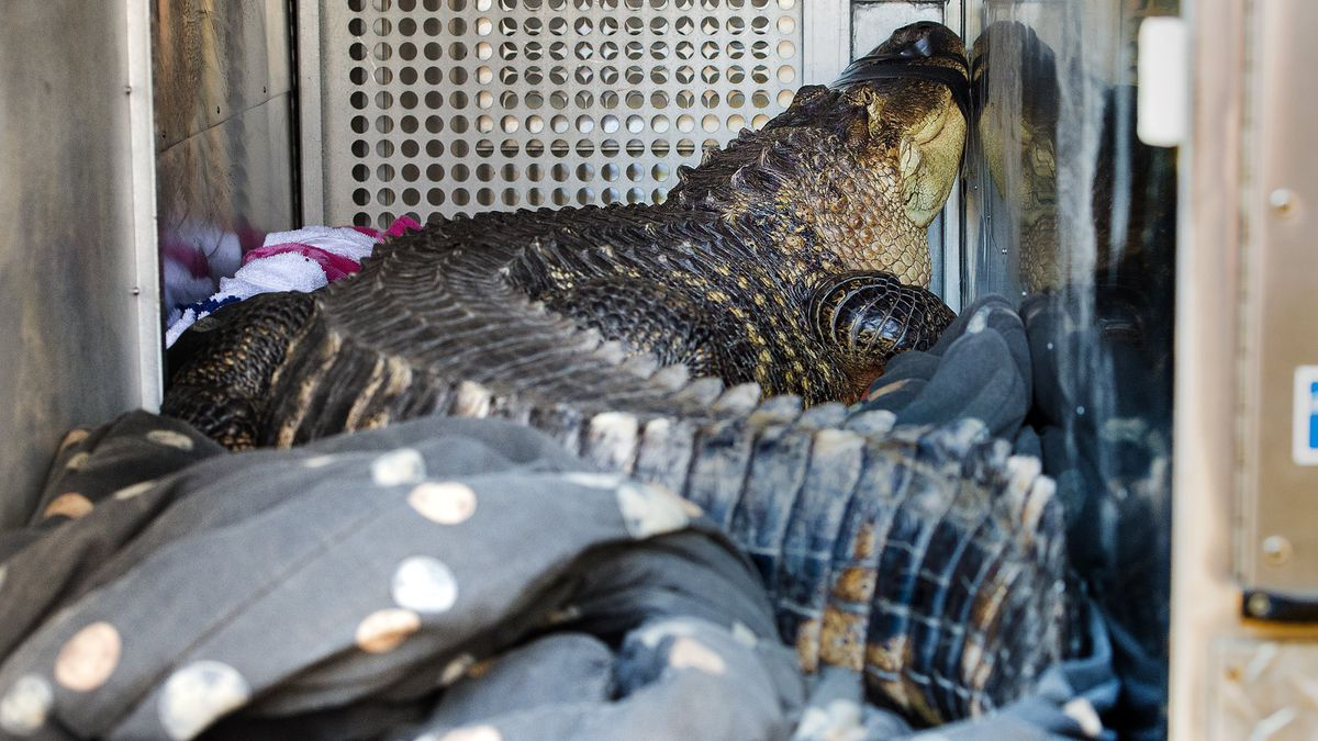 Surprise: Large alligator found in Kansas City hot tub