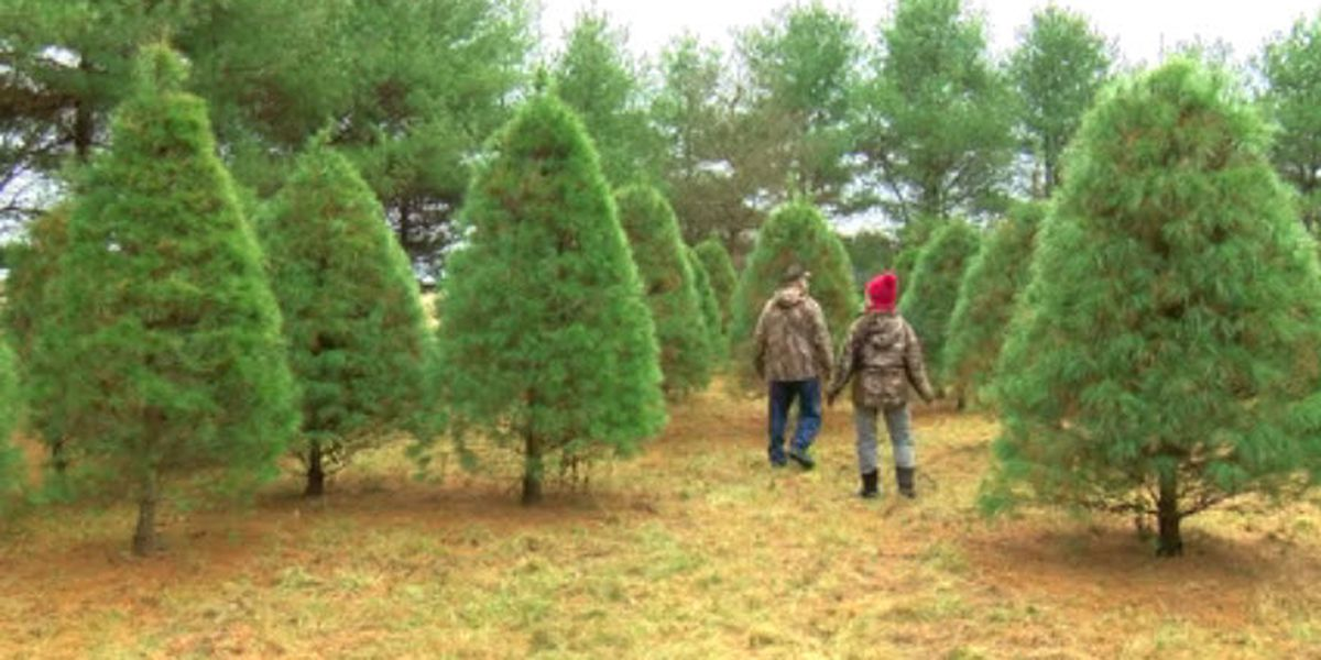 Christmas tree drought still impacting Dubois Co. farm